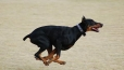 Doberman Pinscher, 2 years, Black