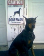 Doberman Pinscher, 3 years, Black
