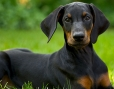 Doberman Pinscher, 4 months, Black