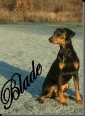 Doberman Pinscher, 4, black n tan