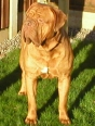 Dogue de Bordeaux, 3, Red