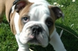 English Bulldog, 10 weeks, red white