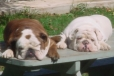 English Bulldog, 7&2, red brindle   white