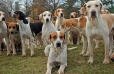 English Foxhound, 1-5 years, Brown and White