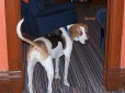 English Foxhound, 15 mos, tri-color