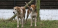 English Foxhound, 2 years, Brown and White