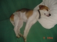 English Foxhound, 20 months, tri colour