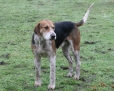 English Foxhound, 3 years, Brown and White