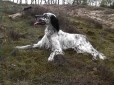 English Setter, 1 year, Black and White