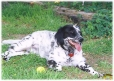 English Setter, 1.5 years, Black and White
