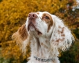 English Setter, 10 months, Brown and White