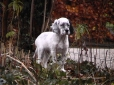English Setter, 3 months, Black and White