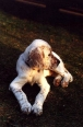 English Setter, 7 months, Blue Merle