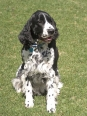 English Springer Spaniel, 1 year, Black