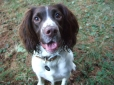 English Springer Spaniel, 11 months, Brown