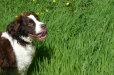 English Springer Spaniel, 2 years, Brown