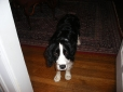 English Springer Spaniel, 9 months, Black and White