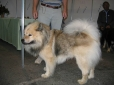 Eurasier, 1.5 years, Cream