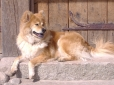 Eurasier, 2 years, Cream