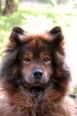 Eurasier, 2 years, Red