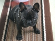 French Bulldog, 1.5 years, Brindle