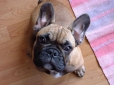 French Bulldog, 6 months, Fawn