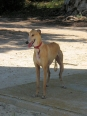 Galgo Espanol, 1 year, Tan