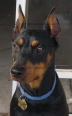 German Pinscher, 2, Black & Tan
