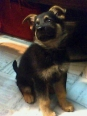 German Shepherd, 3 months, black tan