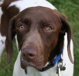 German Shorthaired Pointer, 1 year, Brown and White