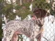 German Shorthaired Pointer, 1 year, Brown spotted