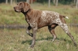 German Shorthaired Pointer, 3 years, Brown and White