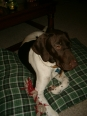 German Shorthaired Pointer, 6 Months, Brown and Liver