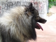 German Spitz, 1 year, Gray