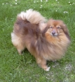 German Spitz, 2 years, Brown