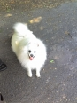 German Spitz, 3, white