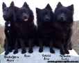 German Spitz, 4,3,1,1,, black