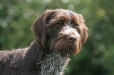 German Wirehaired Pointer, 2 years, Brown