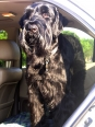 Giant Schnauzer, 1 year, Black