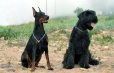 Giant Schnauzer, 2 years, Black