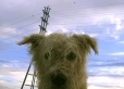 Glen of Imaal Terrier, 1 year, Gray