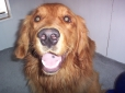 Golden Retriever, Year and a half, Red