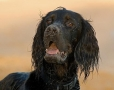 Gordon Setter, 2 years, Black