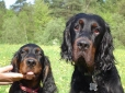 Gordon Setter, 4 years and 6 months, Black
