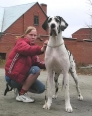 Great Dane, 12 months, harlequin