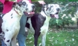 Great Dane, 2 & 5, Harlequin