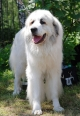 Great Pyrenees, 1.5 years, White