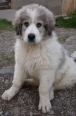 Great Pyrenees, 2 months, White