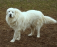 Great Pyrenees, 3 years, White