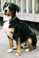 Greater Swiss Mountain Dog, 1 year, Tri Color